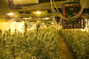 Wietplantage 1200 volgroeide planten Industrieweg Soest. 1 arrestatie.